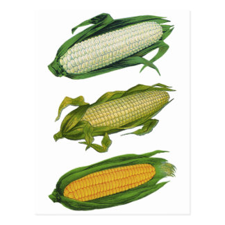 Vintage Food Healthy Vegetables, Fresh Corn on Cob Postcard