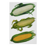 Vintage Food Healthy Vegetables, Fresh Corn on Cob Poster