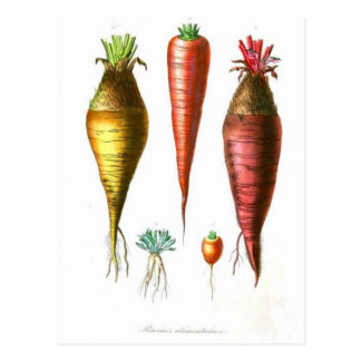 vintage food illustration french country carrot postcard