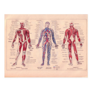Vintage French diagram of the Human Body Postcard