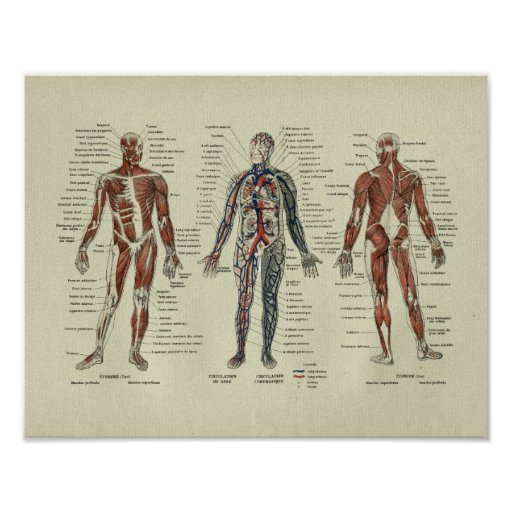 Vintage French Muscle Anatomy Print