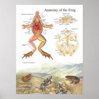 Vintage Frog Anatomy Poster