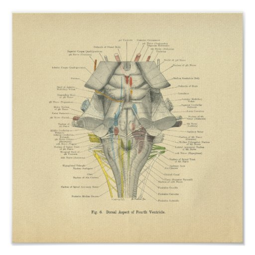 Vintage Frohse Anatomical Brain Dorsal Aspect Poster