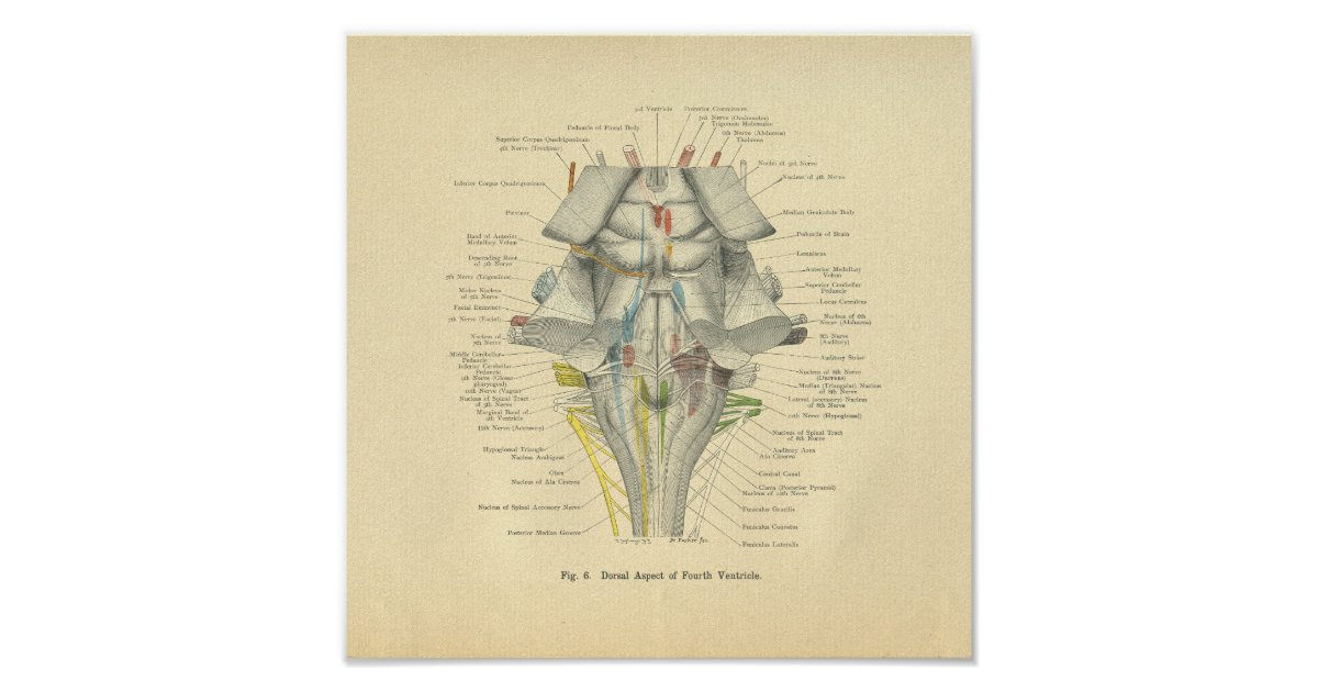 Vintage Frohse Anatomical Brain Dorsal Aspect Poster | Zazzle.co.uk