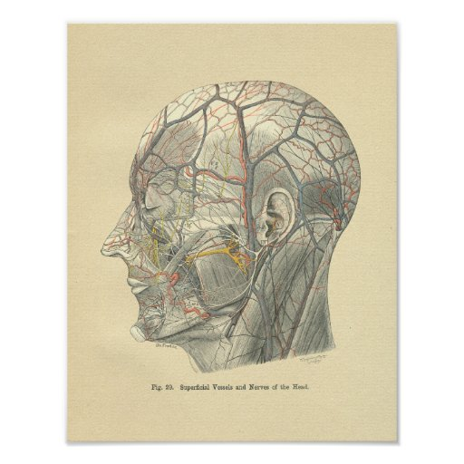 Vintage Frohse Anatomical Vessels of the Head Print