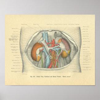 Vintage Frohse Anatomy Abdomen Kidneys Poster