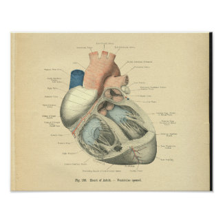 Vintage Frohse Anatomy of Human Heart Poster