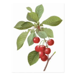 Vintage Fruit Cherry Food, Cherries by Redoute Postcard