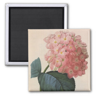 Vintage Garden Flowers, Pink Hydrangea Hortensia Square Magnet
