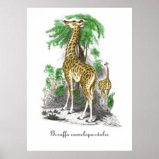 Vintage Giraffe Illustration Giraffa camelopardal Poster