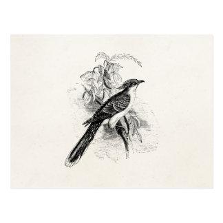 Vintage Great Spotted Cuckoo Birds Retro Bird Postcard