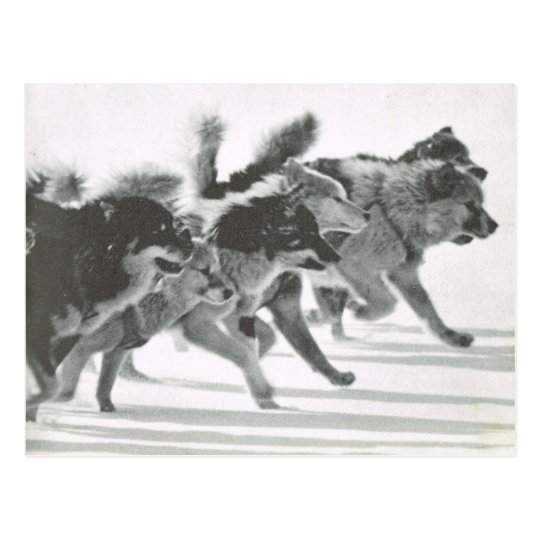 Vintage Greenland, dog team in the snow Postcard