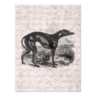 Vintage Greyhound Dog 1800s Greyhounds Dogs Photo