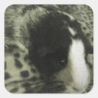 Vintage guinea pig photograph square sticker