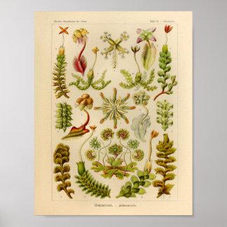 Vintage Hepaticae Color Ernst Haeckel Art Print