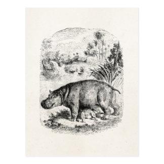 Vintage Hippopotamus / Hippo Nursing Baby Hippos Postcard