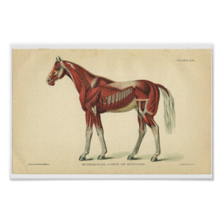 Vintage Horse Anatomy Print Muscles