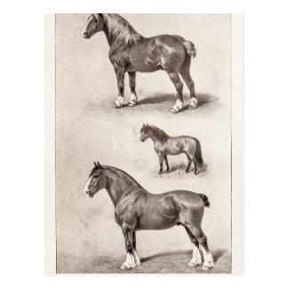 Vintage Horse Clydesdale Shetland Belgian Horses Postcard