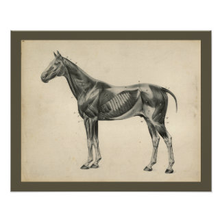 Vintage Horse Veterinary Muscle Anatomy Print