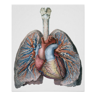 Vintage Human Anatomy Lungs Heart Organs Blood Poster
