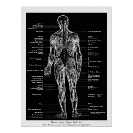 Vintage - Human Anatomy Muscles Back View Black Posters