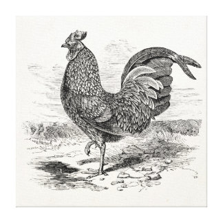 Vintage Kulm Fowl Rooster Chicken - Chickens Hen Canvas Print