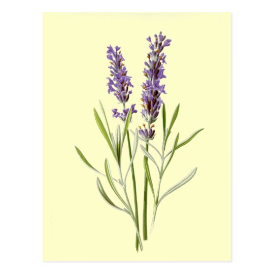 Vintage Lavender Illustration Postcard