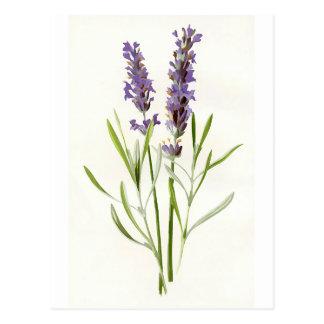 Vintage Lavender Postcard
