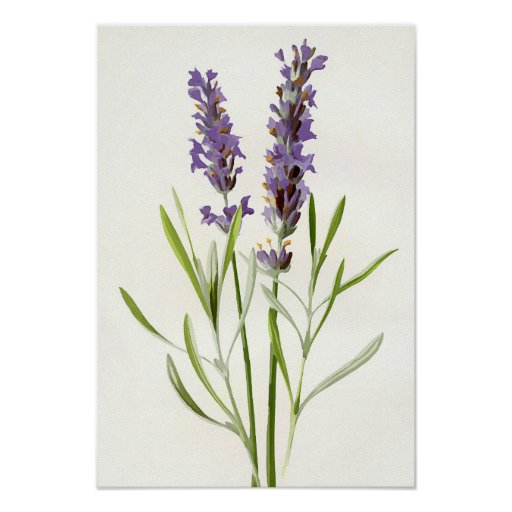 Vintage lavender poster