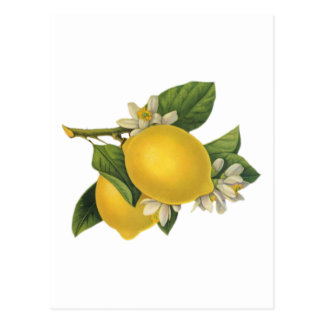 Vintage Lemons Illustration Postcard