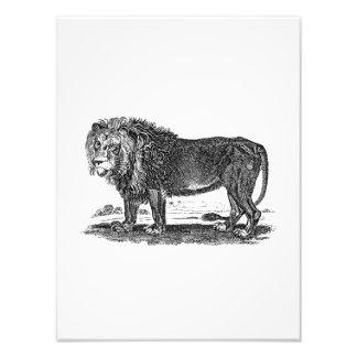 Vintage Lion Illustration -1800's African Animal Photographic Print