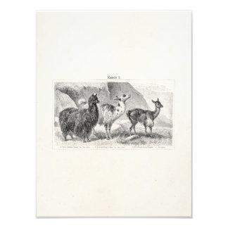 Vintage Llama Alpaca Template Llamas Alpacas Photo Print