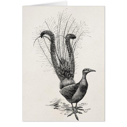 Vintage Lyre Bird Lyrebird Illustration Template