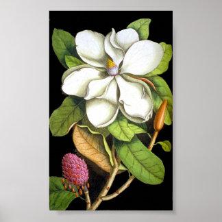 Vintage Magnolia Botanical Poster