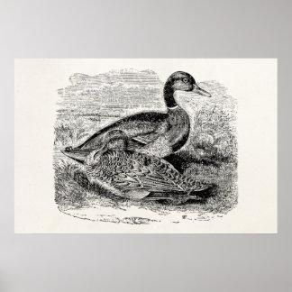 Vintage Mallard Duck Bird - Ducks Birds Template Poster