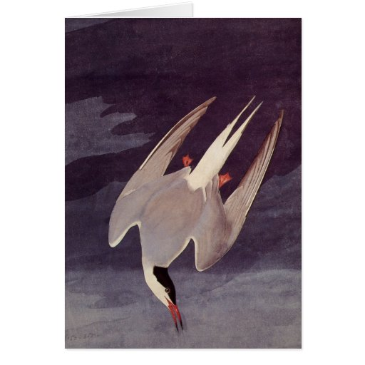 Vintage Marine Bird, Arctic Tern by John Audubon Greeting Cards
