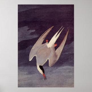 Vintage Marine Bird, Arctic Tern by John Audubon Poster