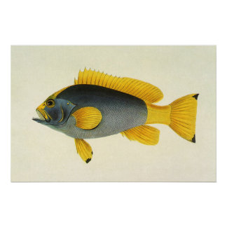 Vintage Marine Life Fish, Blue and Yellow Grouper Poster