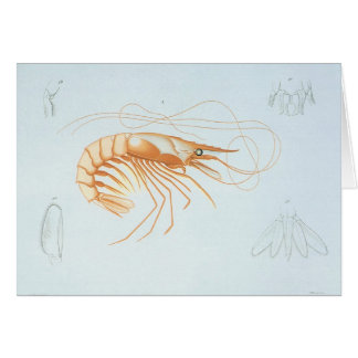 Vintage Marine Life Ocean Animals, Shrimp Anatomy Card