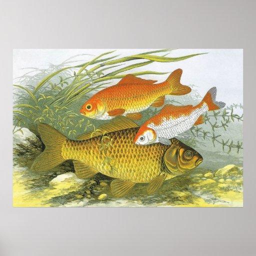 Vintage marine sea life aquatic fish goldfish koi posters for Koi fish lifespan