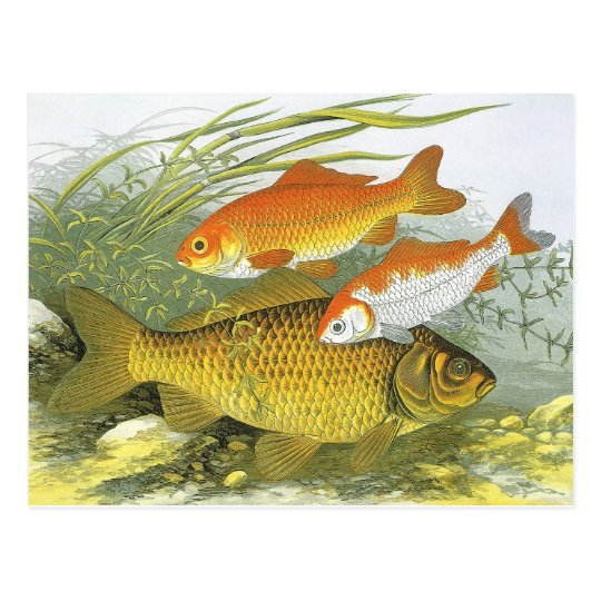 Vintage Marine Sea Life Fish, Aquatic Goldfish Koi Postcard