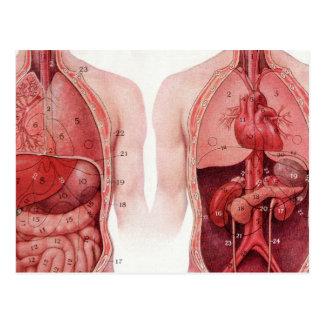 Vintage Medical Illustration, Anatomy Postcard