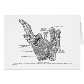 Vintage Medical Illustration Muscles of the Thumb Card