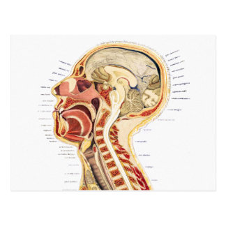 Vintage Medical Scientific Human Anatomy Bisection Postcard