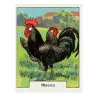 Vintage Minorca Chicken Postcard