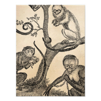 Vintage Monkey Illustration - 1800's Monkeys Photo Print