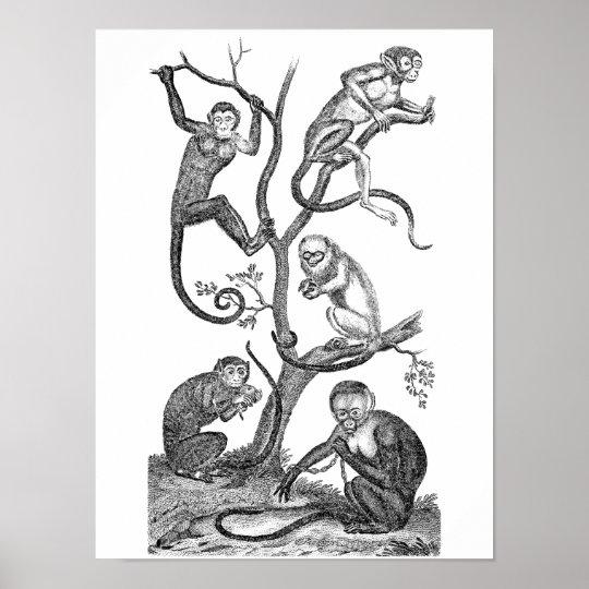 Vintage Monkey Illustration - 1800's Monkeys Poster