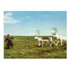 Vintage Norway, Lapland, Sami with reindeer Postcard