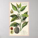 Vintage Nutmeg Plant Fruit Seeds, Food Herbs Spice Poster