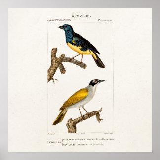 Vintage Old 1800s Orioles Color Bird Illustration Poster